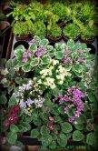 Mini violets for fairy gardens