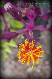 Gynura blossom