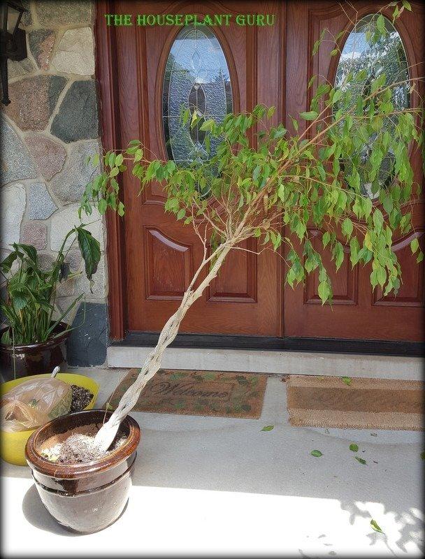 Ficus 007