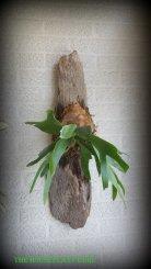 Driftwood anniversary fern