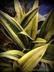 Sansevieria 'Golden Flame'