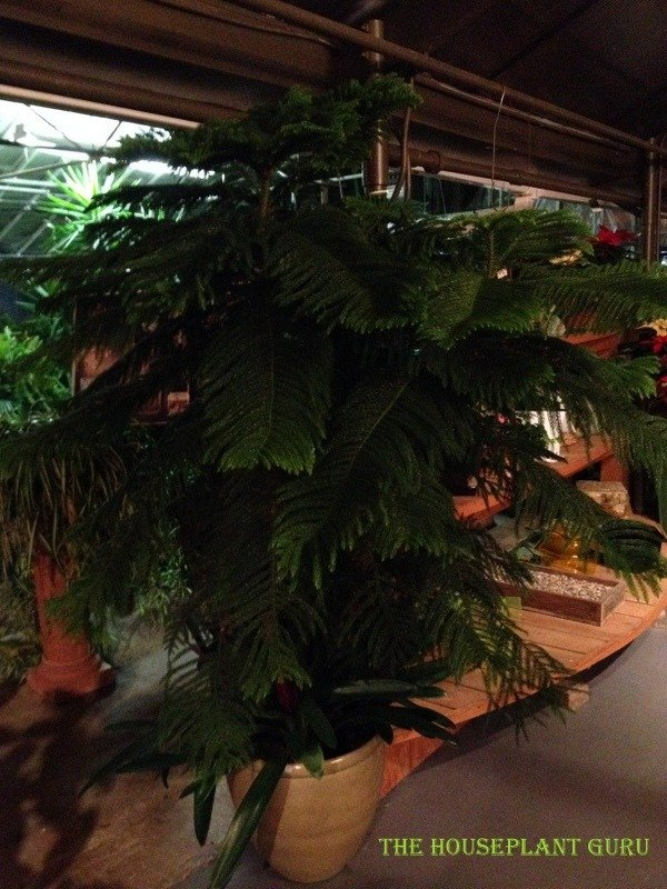 A Norfolk Island Pine with an under planting of
