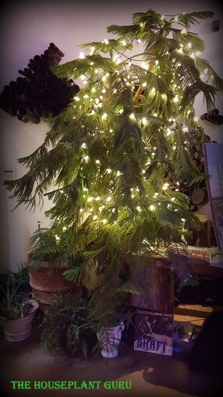 Very large Norfolk Island Pine covered with light for the holidays.
