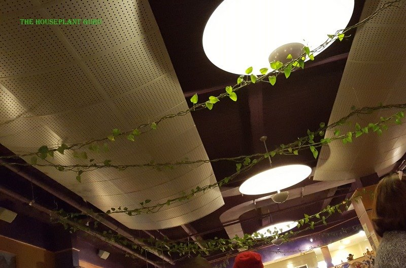 The plant spreading out across the ceiling