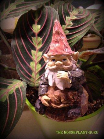 Gnome in a prayer plant