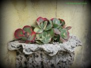 Kalanchoe thrysifolia 'Fantastic'