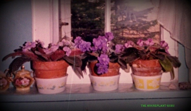 Grandma's East window in her kitchen full of African violets