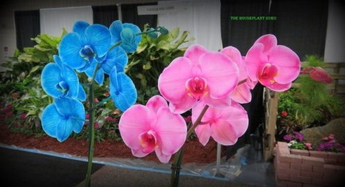 'Cyprus Blue' and 'Pink Mystique' Phalaenopsis orchids