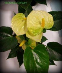 Anthurium 'Vanilla'