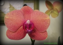 florida orchids 066