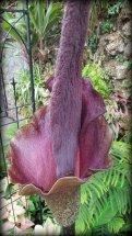 Belle Isle VooDoo Lily 046
