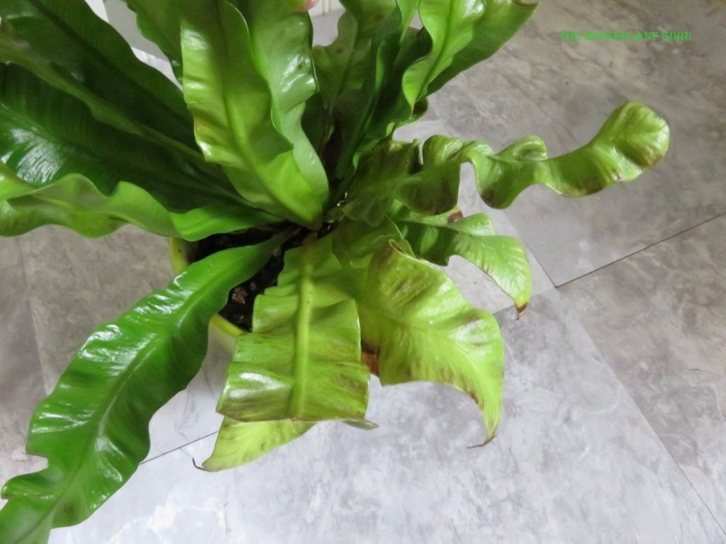 Some old leaves on a Curly Wave bird's nest fern