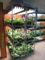 Streptocarpus shelves