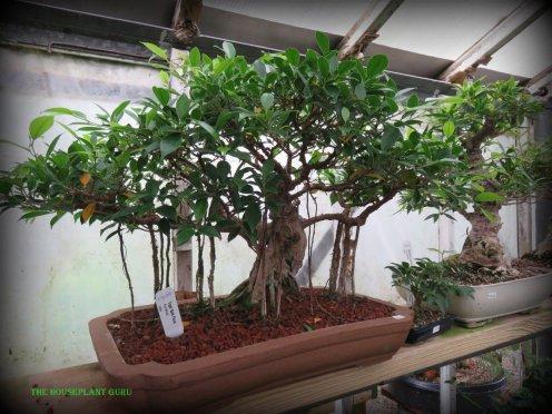 Ficus retusa bonsai (Tiger Bark Ficus)