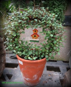Even a small topiary can be dressed up with a bird house