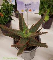 Aloe 'Carnival'