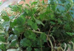 Miniature oak leaf fig -Ficus quercifolia