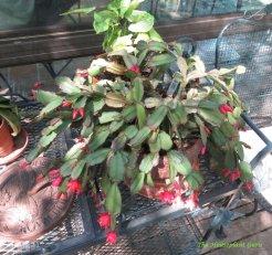 Easter cactus (Rhipsalidopsis gaertneri or Rhipsalidopsis gaertneri)