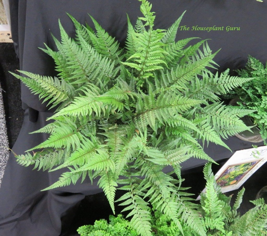 Korean Rock Fern (Polystichum tsus-simense) at fern booth