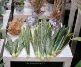 Sansevieria and Polyscias (Ming Aralia) cuttings