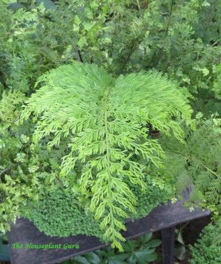 Mother fern frond (Asplenium bulbiferum)