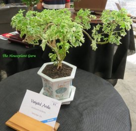 Variegated Ming Aralia (Polyscias fruiticosa 'Variegata'