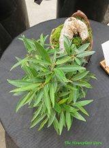 Willow leaf Ficus (Ficus nerifolia) bonsai