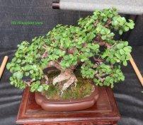 Elephant Bush (Portulacaria afra) bonsai