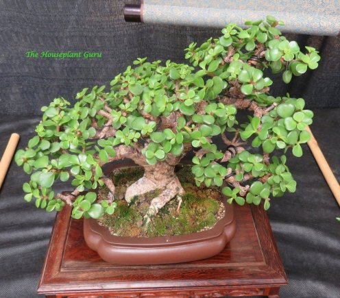 Elephant Bush (Portulacaria afra) bonsai