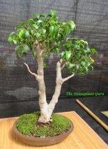 Ficus benjamina 'Too Little' bonsai