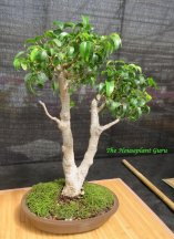 Ficus benjamina 'Too Little' bonsai