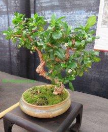 Fukien tea (Ehrelia microphylla)