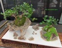 Natal Plum (Carissa macrocarpa)