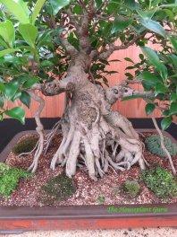 Banyan fig (Ficus retusa) roots on a bonsai tree