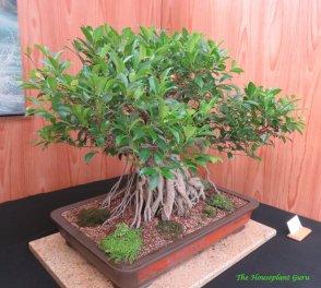 Banyan Fig (Ficus retusa) bonsai