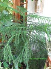 Norfolk Island PIne -Araucaria heterophylla