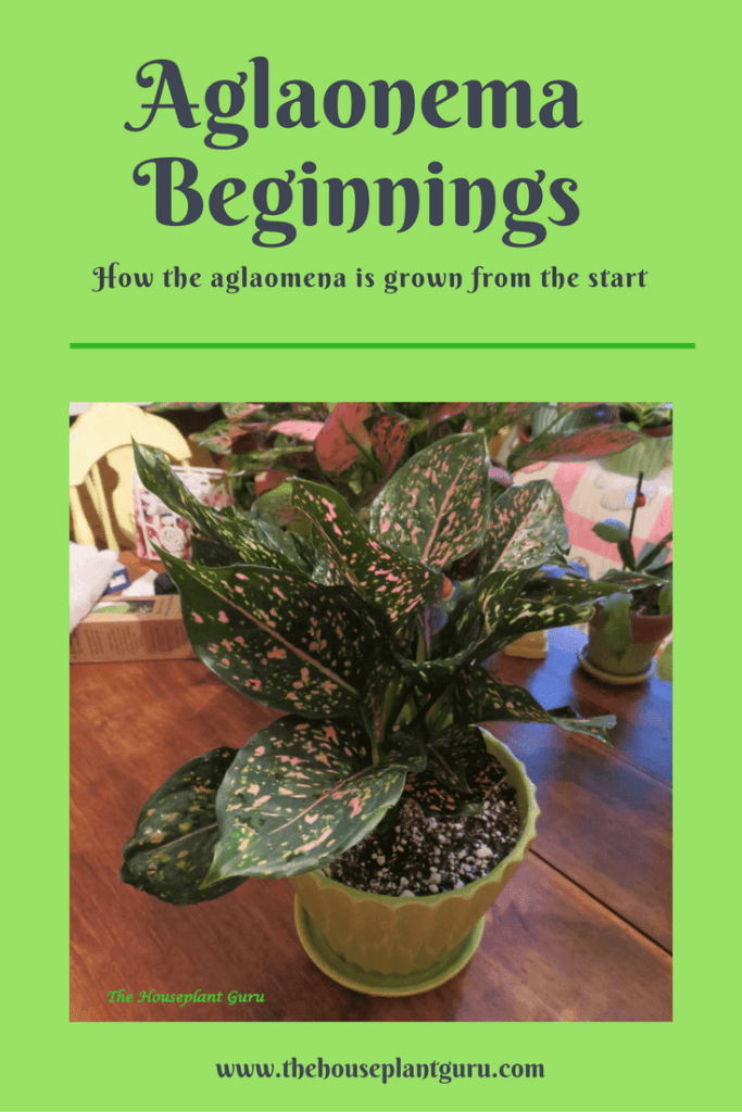 Aglaonema Beginnings