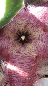Up close of carrion flower