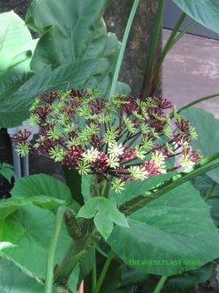 Fairchild Tropical Botanical Garden Osmoxylon novoguineensis