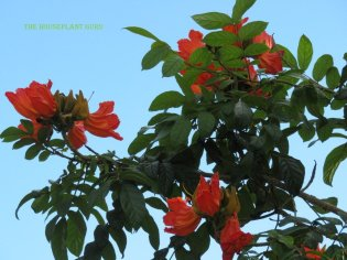 African tulip tree (Spathodea campanulata) shading Hemingway'shouse