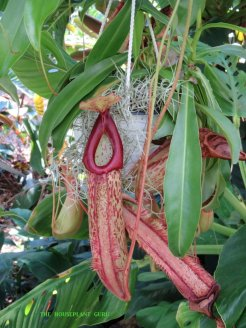 Pitcher plant at Marie Selby Botanical Garden