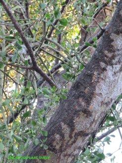 Wierd bark on the dying tree filled with mistletoe
