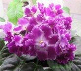 African violet RM Izabella'