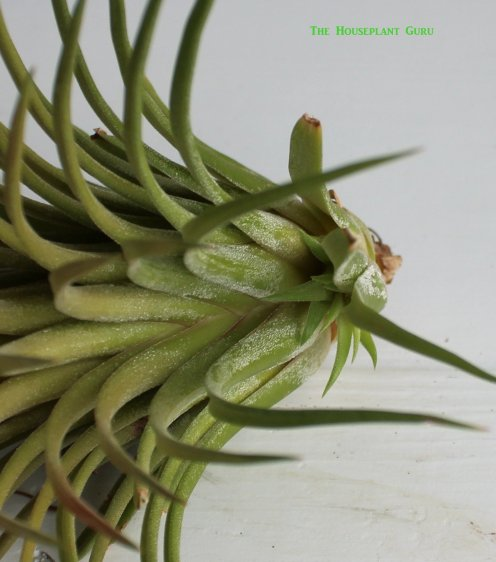 Tillandsia ionantha 'Predator' offset