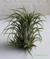 Tillandsia ionantha with 2 offsets