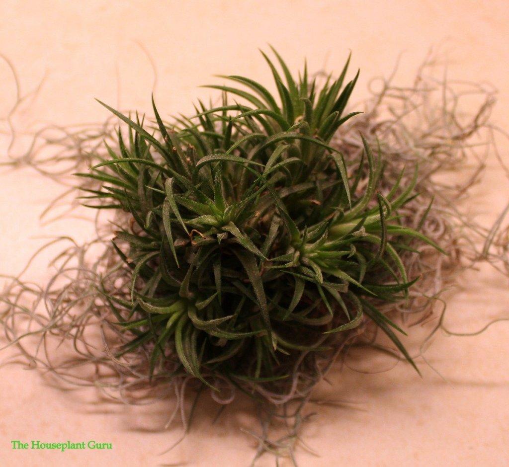 Tillandsia ionantha clump sitting on spanish moss Tillandsia usneoides