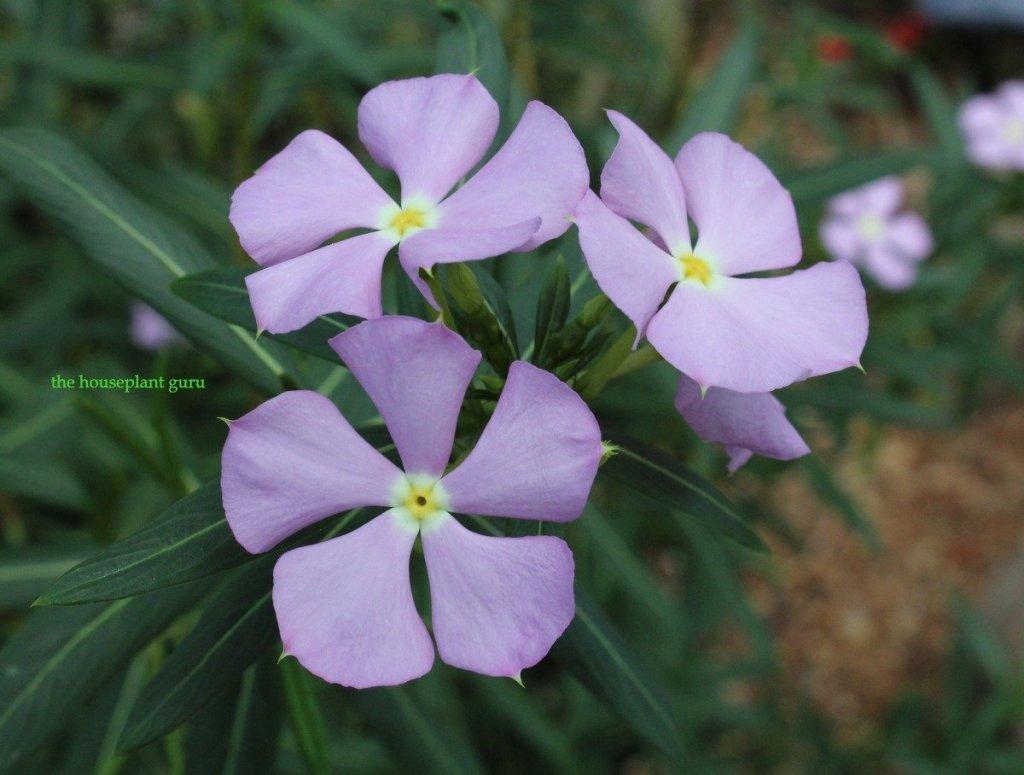 Madagascar periwinkle Catharanthus grandiflora