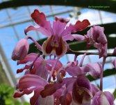 Schomburkia orchid