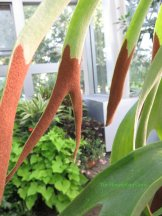 Staghorn fern fronds with sori