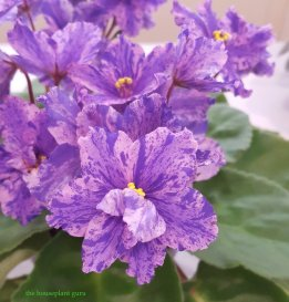 'Mag's Standing Ovation' African violet